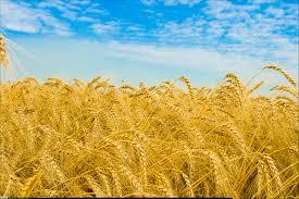 افزايش 14 درصدي توليد گندم در آذربايجان شرقي